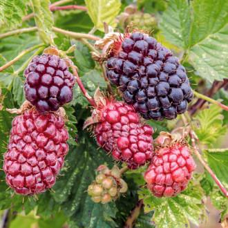 Malinoostružina Boysenberry изображение 1