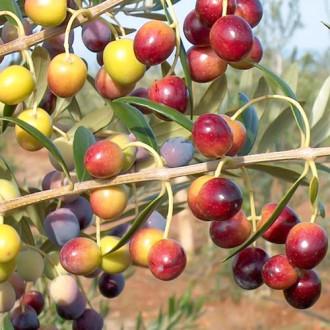 Olivovník Piqual изображение 1