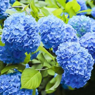 Hortenzia veľkolistá Nikko Blue изображение 8