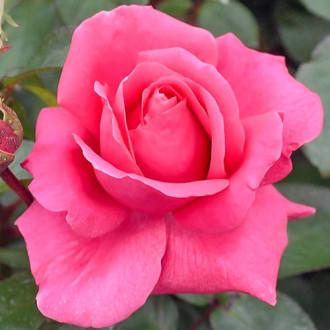 Ruža veľkokvetá Cryterion изображение 6