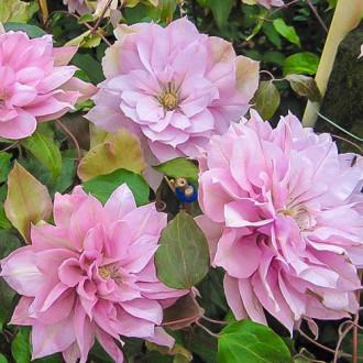 Plamienok Violet Elizabeth изображение 3