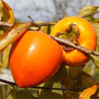 Ebenovník rajčiakový Jiro изображение 2