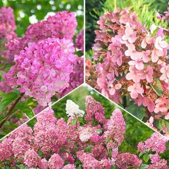 Super ponuka! Sada hortenzií v ružových tónoch - 3 sadenice изображение 1