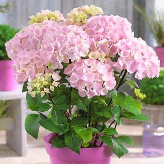 Hortenzia veľkolistá Pink изображение 4