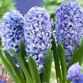 Hyacint Blue Eyes изображение 2
