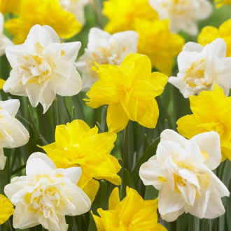 Narcis Bright Double Sun изображение 8