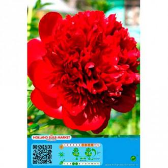 Pivonka Red изображение 8