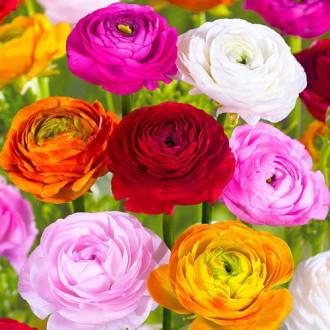 Ranunculus (masliak), mix изображение 6