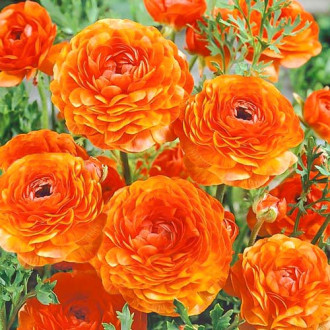 Ranunculus (masliak) Orange изображение 1