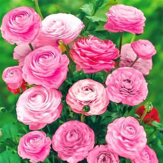 Ranunculus (masliak) Pink изображение 2