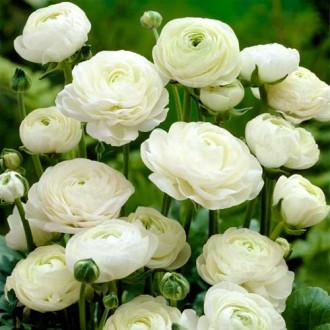 Ranunculus (masliak) White изображение 4