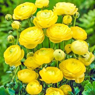 Ranunculus (masliak) Yellow изображение 5