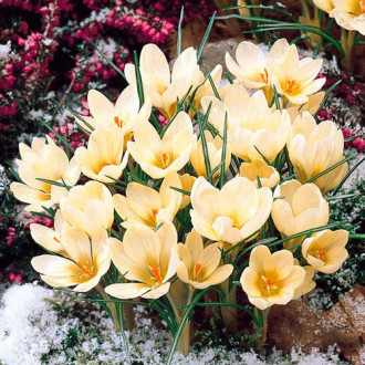 Šafran Cream Beauty изображение 5