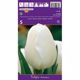 Tulipán Antartica изображение 6