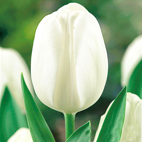 Tulipán Andre Citroen изображение 1 артикул 67898