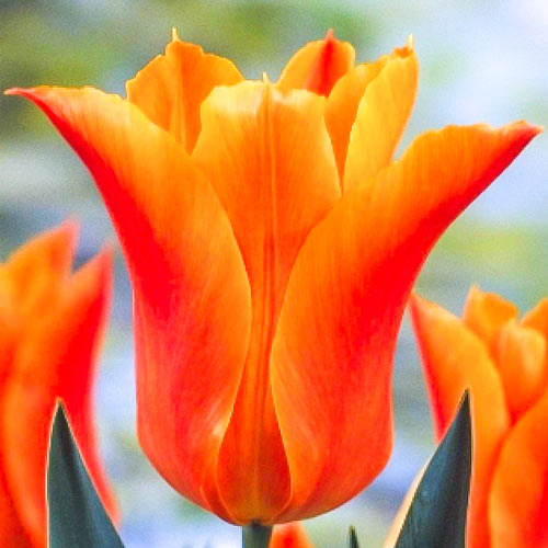 Tulipán Ballade Orange изображение 1 артикул 67690