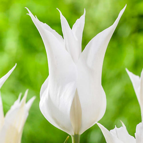 Tulipán Ballade White изображение 1 артикул 67691