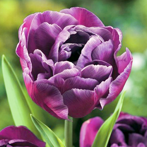Tulipán Blue Diamond изображение 1 артикул 67769