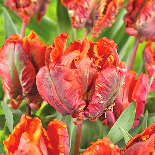 Tulipán Blumex изображение 1 артикул 70258