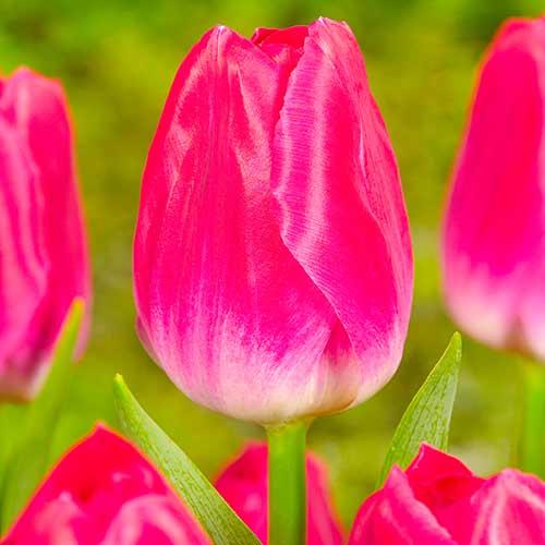 Tulipán Bolroyal Alfa изображение 1 артикул 70294
