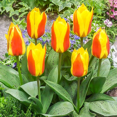 Tulipán Bon Bini изображение 1 артикул 67475