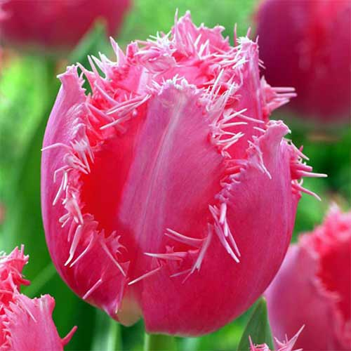 Tulipán Cacharel изображение 1 артикул 70299