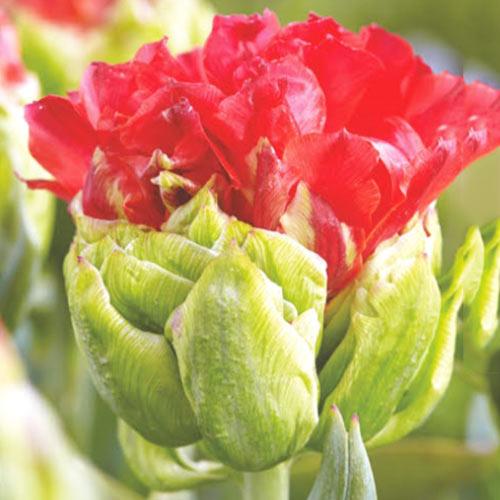 Tulipán Double Crosby изображение 1 артикул 67721