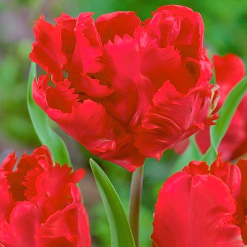 Tulipán Erna Lindgreen изображение 1 артикул 70260