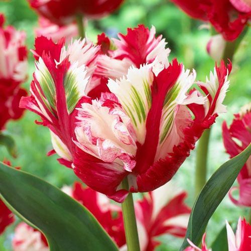 Tulipán Estella Rijnveld изображение 1 артикул 68110