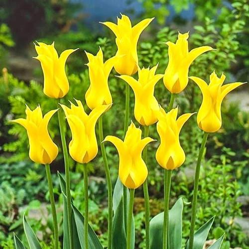 Tulipán Flashback изображение 1 артикул 68048