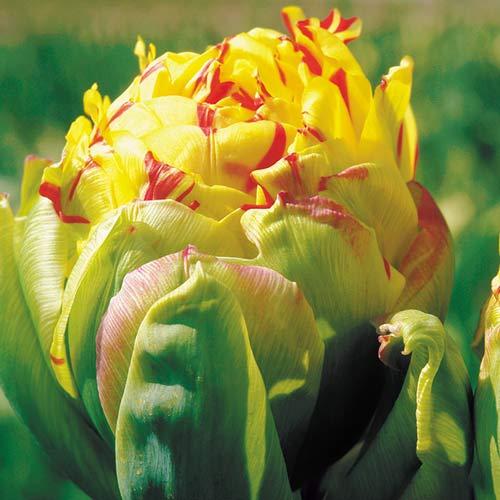 Tulipán Frejus изображение 1 артикул 68089