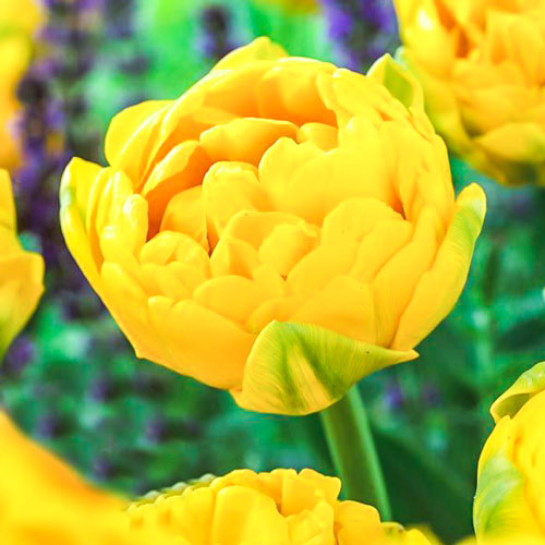 Tulipán Gold Fever изображение 1 артикул 68128