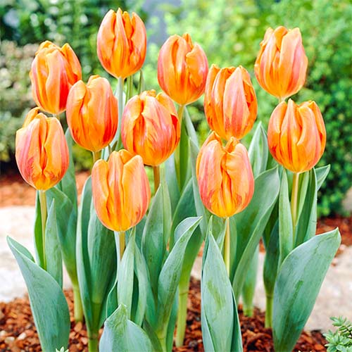 Tulipán Hermitage изображение 1 артикул 67868
