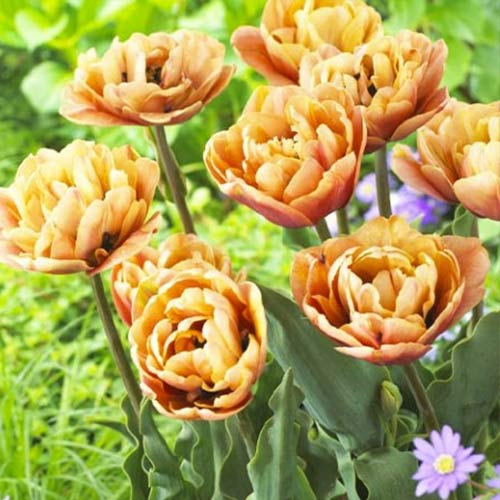 Tulipán La Belle Epoque изображение 1 артикул 70254