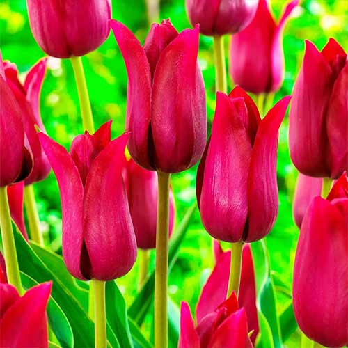 Tulipán Lilyrosa изображение 1 артикул 70303