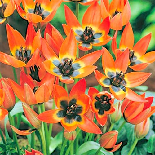 Tulipán Little Princess изображение 1 артикул 70295