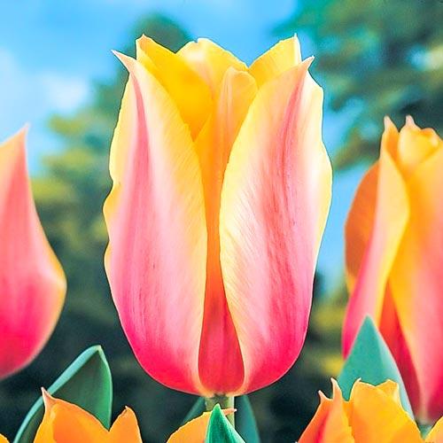 Tulipán Long Lady изображение 1 артикул 70253