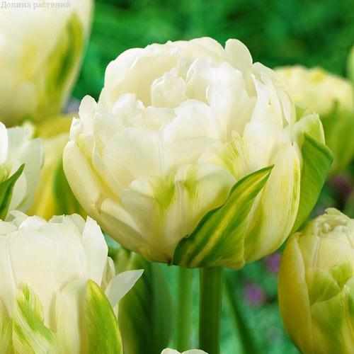 Tulipán Maureen Double изображение 1 артикул 68038