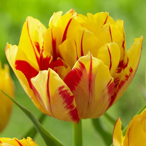 Tulipán Monsella изображение 1 артикул 70255