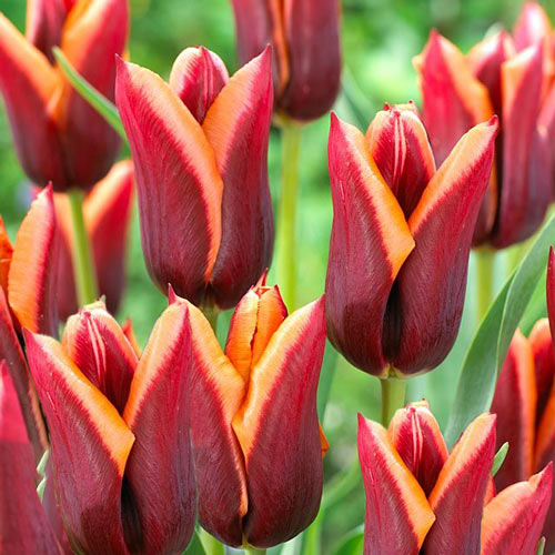 Tulipán Muvota изображение 1 артикул 67778