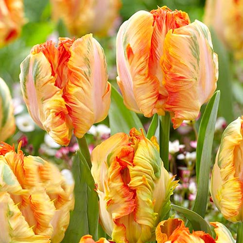 Tulipán Parrot King изображение 1 артикул 67801