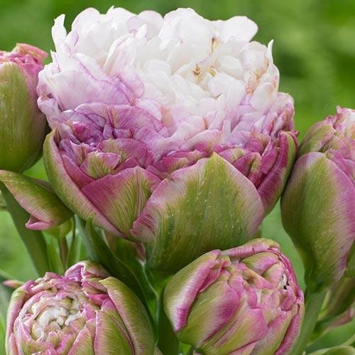 Tulipán Peggy Wonder изображение 1 артикул 68039
