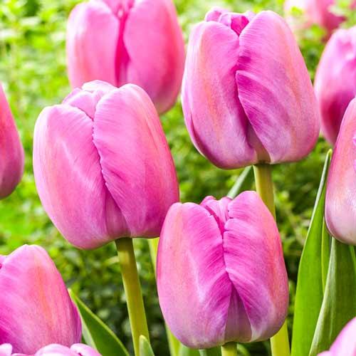 Tulipán Purple Pride изображение 1 артикул 70307