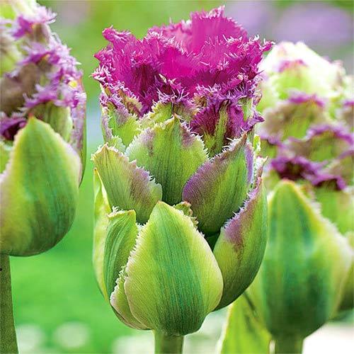 Tulipán Purple Tower изображение 1 артикул 67793
