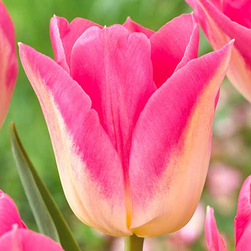 Tulipán Royal Ten изображение 1 артикул 70308