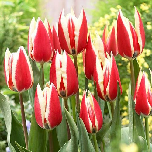 Tulipán Spring Surprise изображение 1 артикул 68112