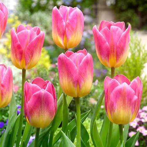 Tulipán Tom Pouce изображение 1 артикул 70311