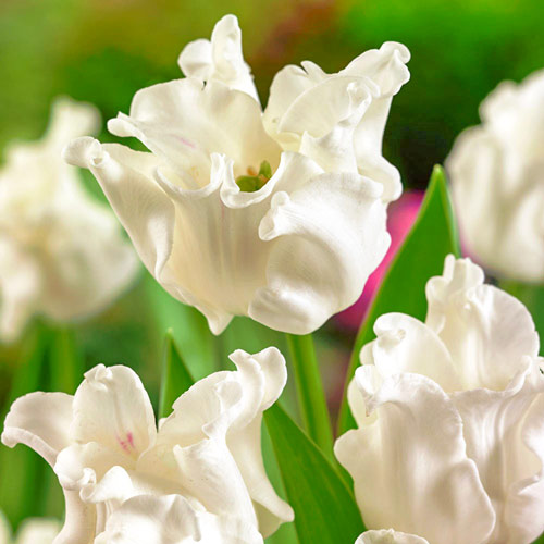 Tulipán White Liberstar изображение 1 артикул 67848