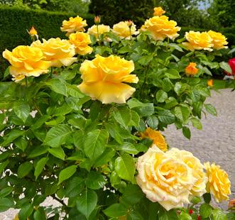 Ruža floribunda