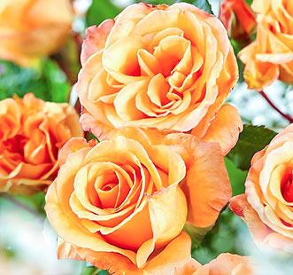 Ruža veľkokvetá